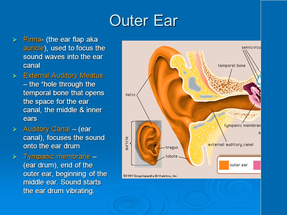 Outer Ear Pinna- (the ear flap aka auricle), used to focus the sound waves into the ear canal.