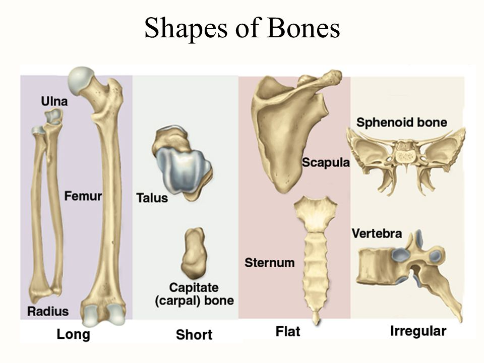 Chapter 7 Bone Tissue Tissues And Organs Of The Skeletal System