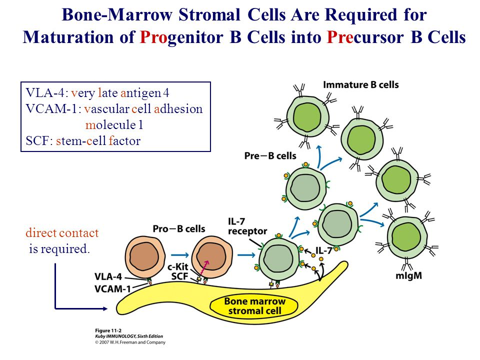 B cell maturation in bone marrow