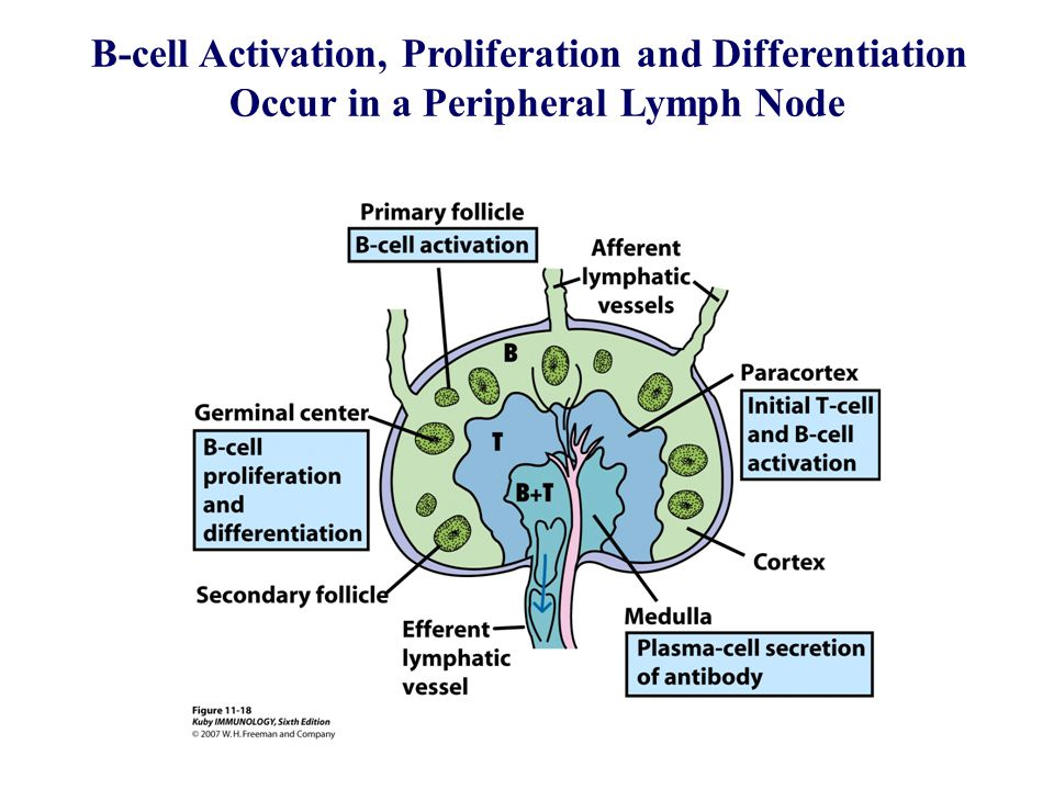 B cell activation maturation and differentiation