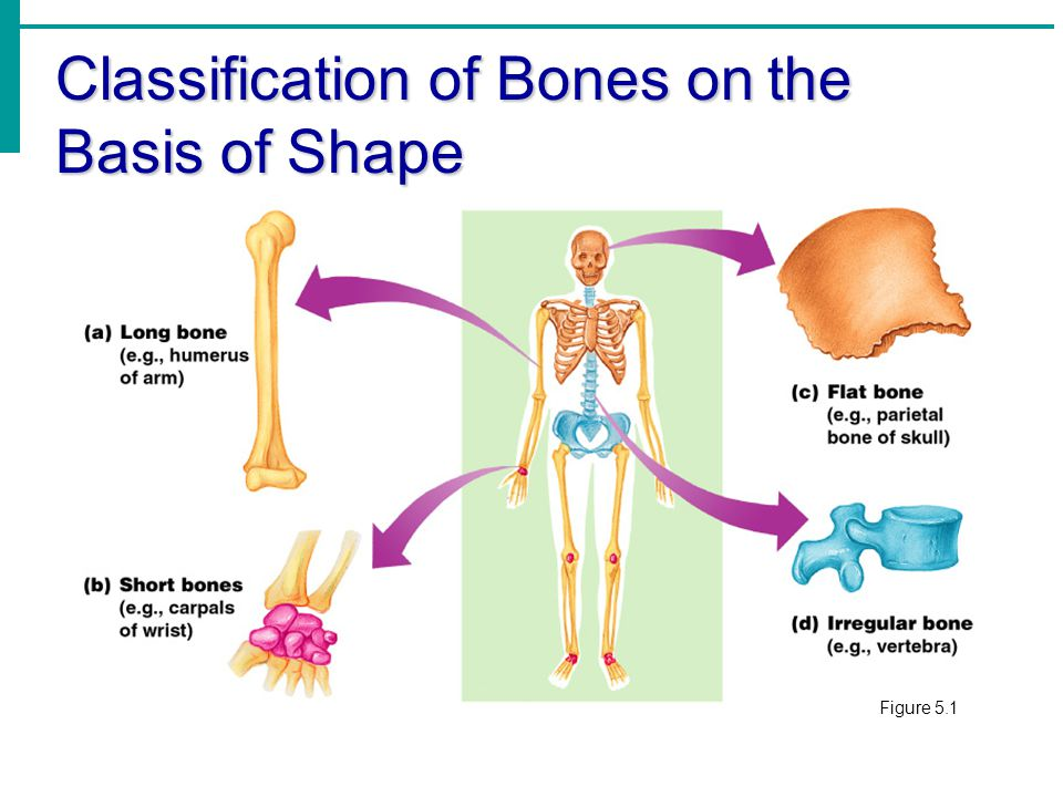 Lecture 1 Bone Structure Formation And Growth Ppt Video Online