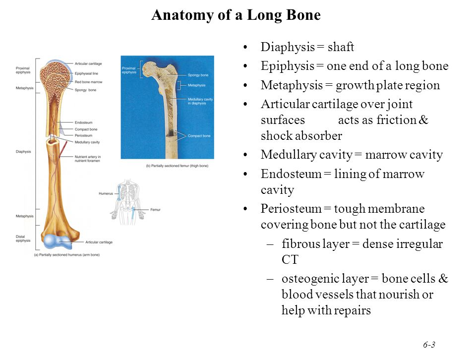 Chapter 6 Bone Tissue Dynamic and ever-changing throughout life ...