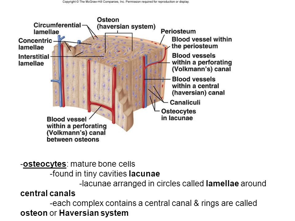 Bone Cell Osteocyte Central Canal Haversian System Diagram - Online ...
