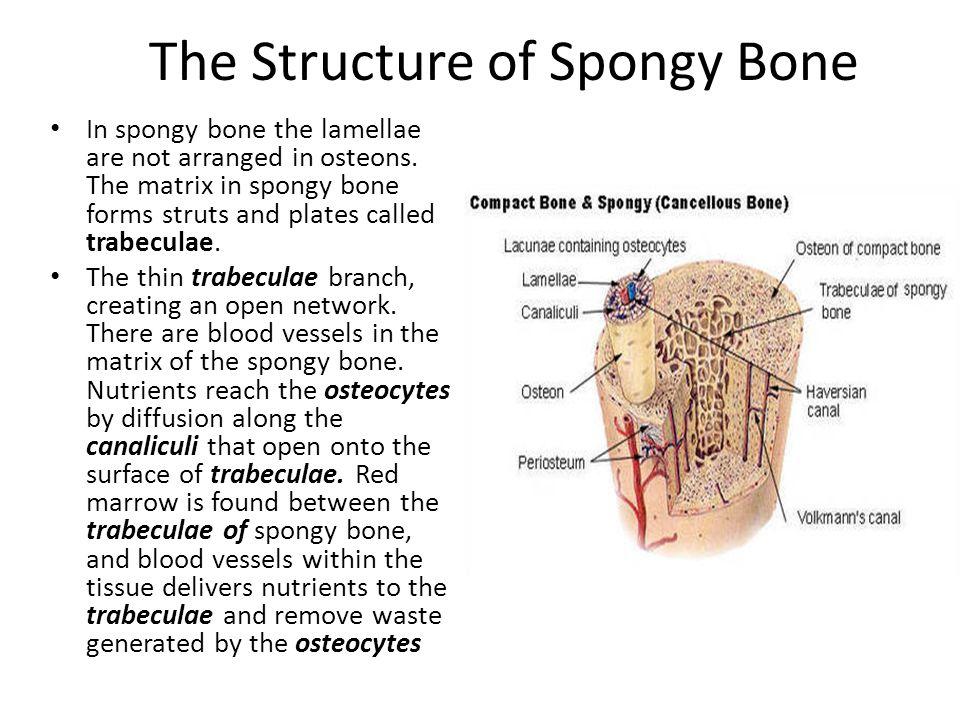 Bone Structure and Skeletal System - ppt video online download