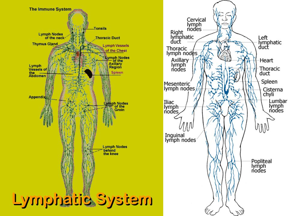 Lymphatic System Ppt Video Online Download