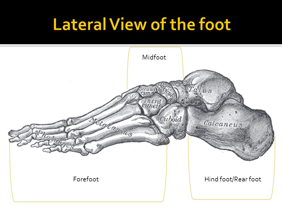 Anatomy Of The Foot Bones Joints Muscles Skin Ppt Video Online