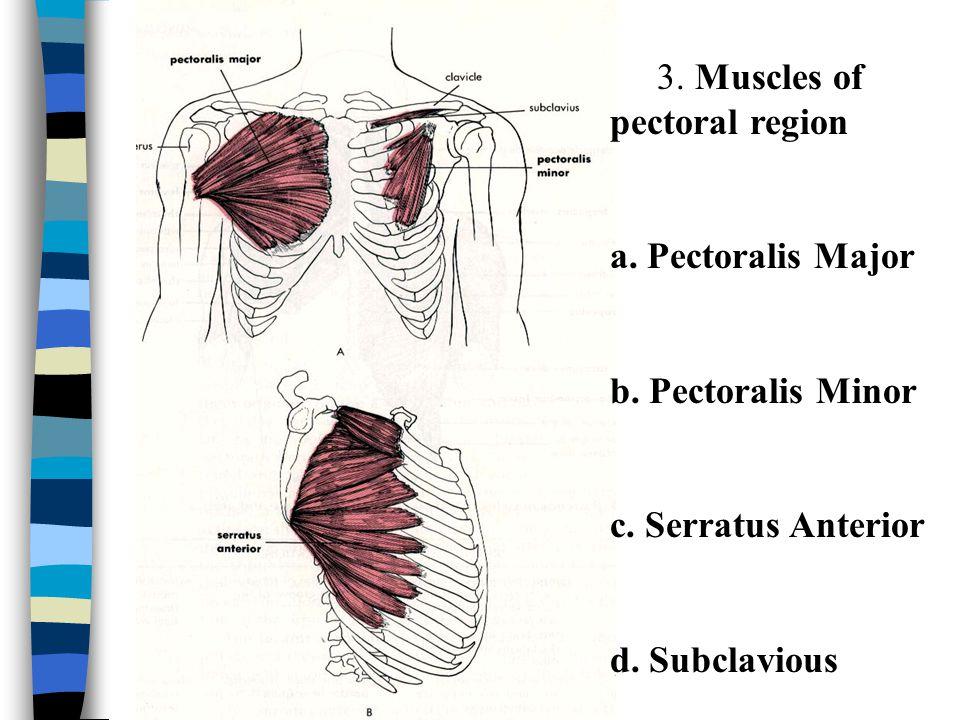 Regional Gross Anatomy Ppt Video Online Download