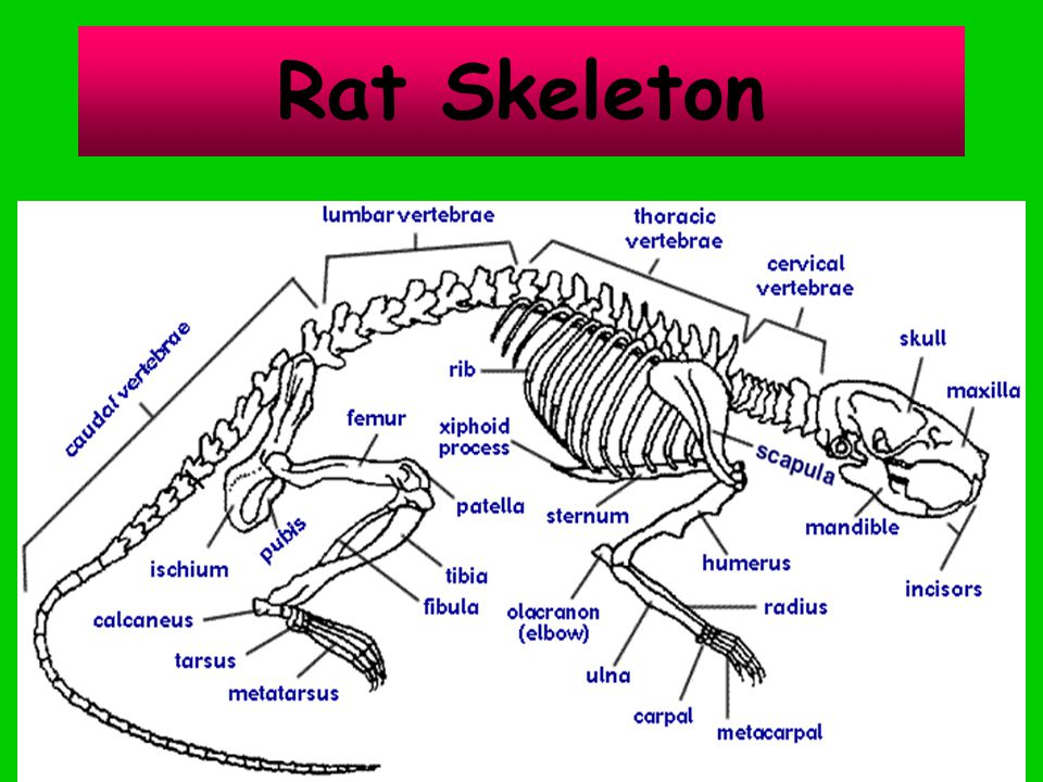 Rat+Skeleton rat skeletal system diagram simple wiring diagram site