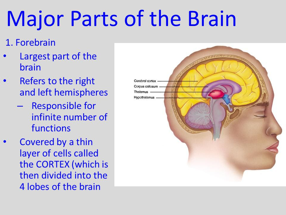 62 The Brain Cont Human Brain Weighs 1350 Grams 3 Pounds