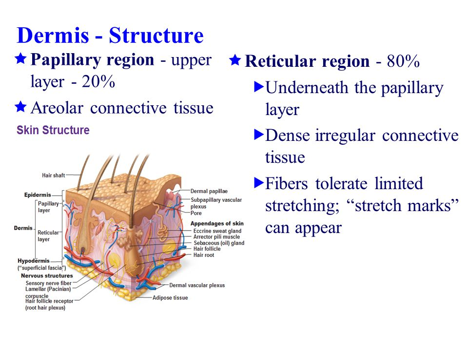 Dermis - Structure Papillary region - upper layer - 20%