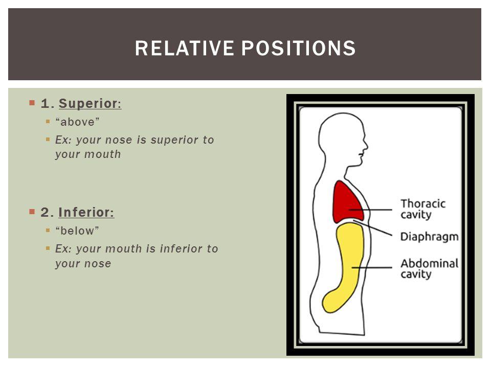 Erfreut Relative Position Anatomie Galerie - Anatomie Von ...