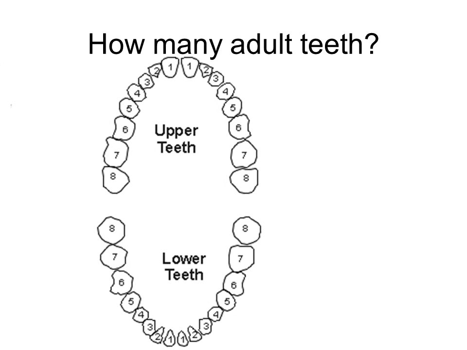 The teeth in our mouths ppt video online download how many adult teeth ccuart Images