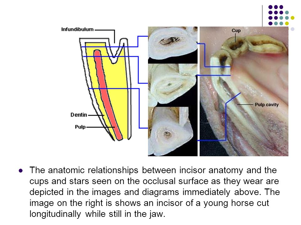 Pulp Cavity Diagram Horse - DIY Enthusiasts Wiring Diagrams •