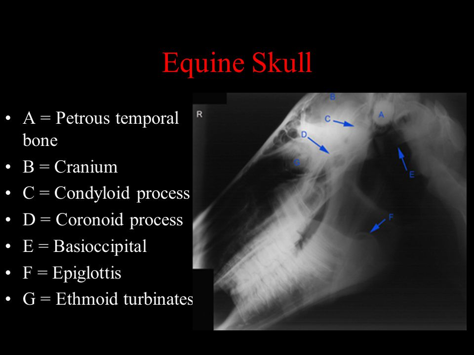 Normal Radiographic Anatomy of the Equine Head - ppt video online ...