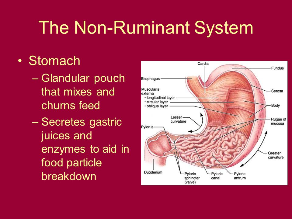 Non Ruminant Digestion Ppt Video Online Download
