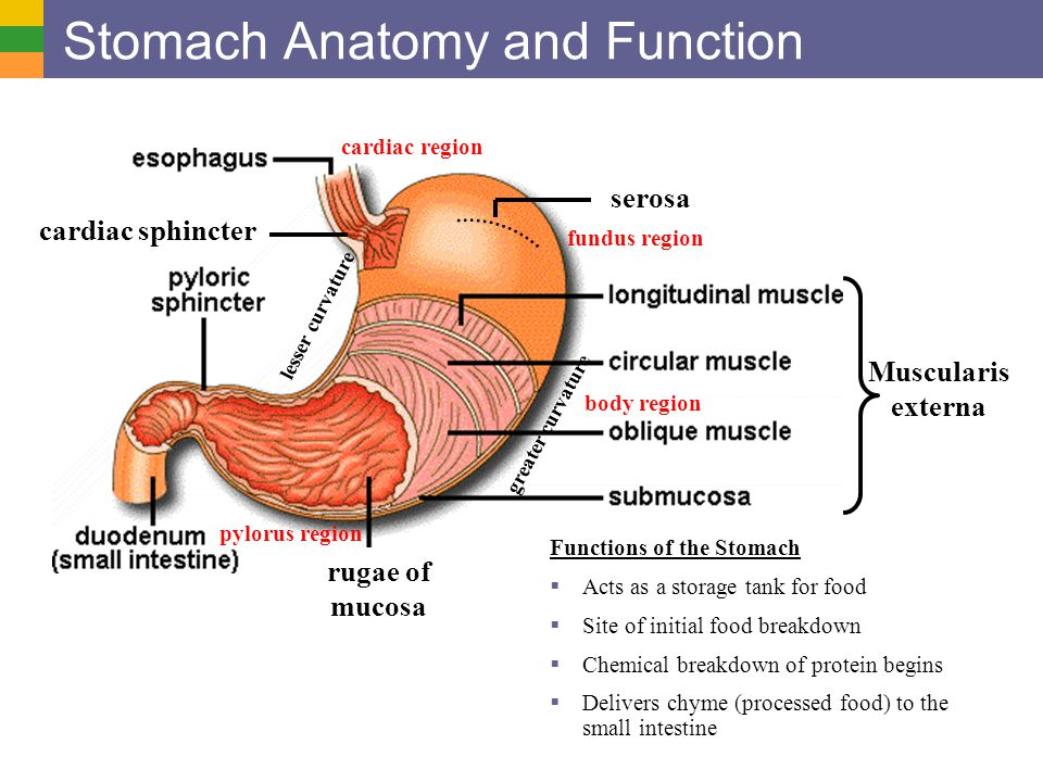 Luxury Function Of The Stomach Collection - Anatomy And Physiology ...