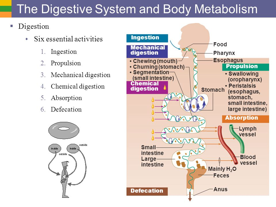 Digestive System I Organs And Structure Ppt Video Online Download