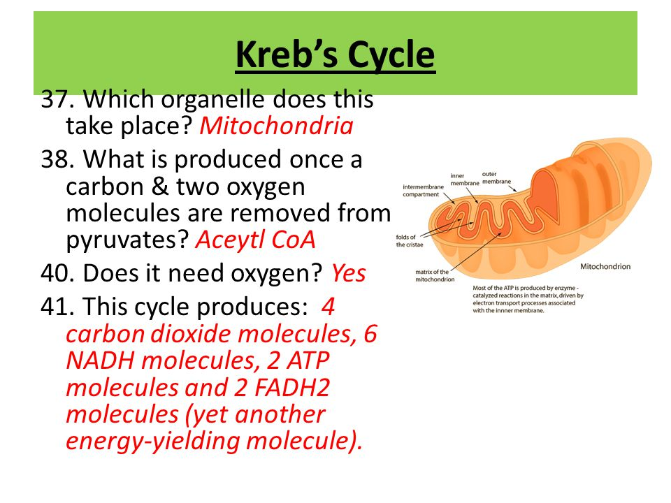 Kreb's Cycle 37. Which organelle does this take place Mitochondria