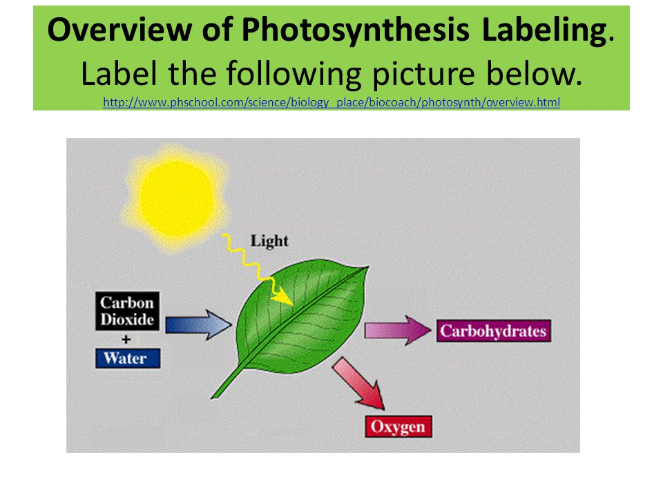Overview of Photosynthesis Labeling. Label the following picture below