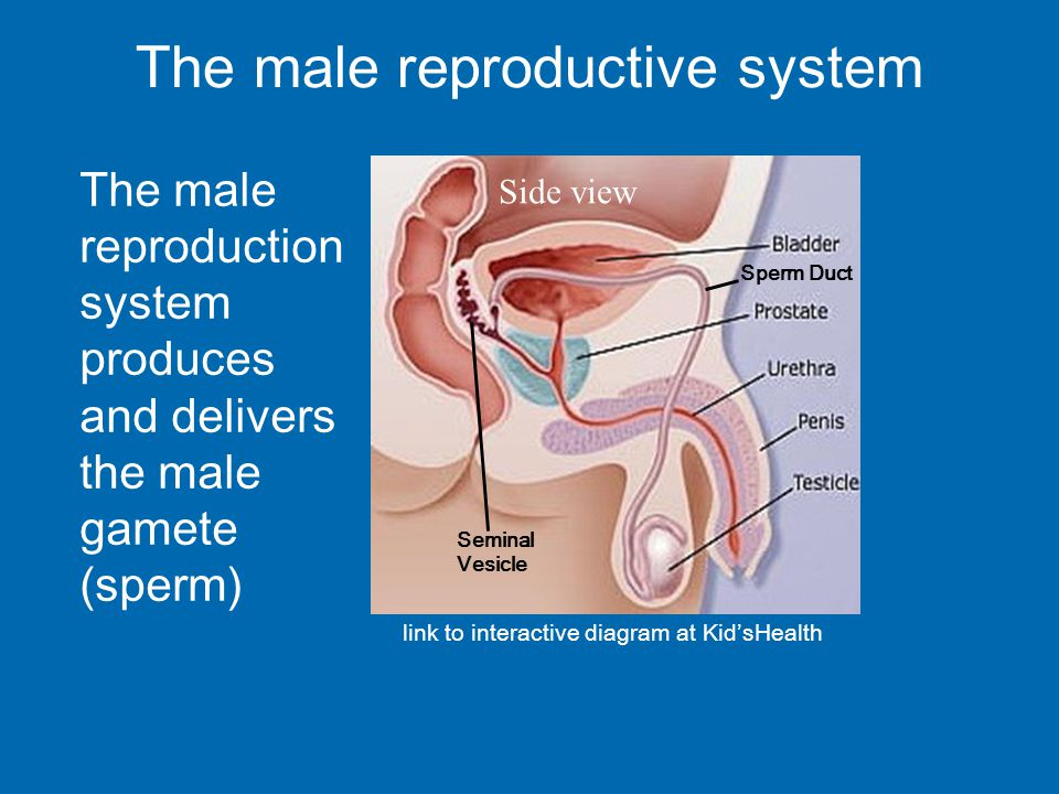 Male Reproductive System Diagram Blue Auto Electrical Wiring Diagram