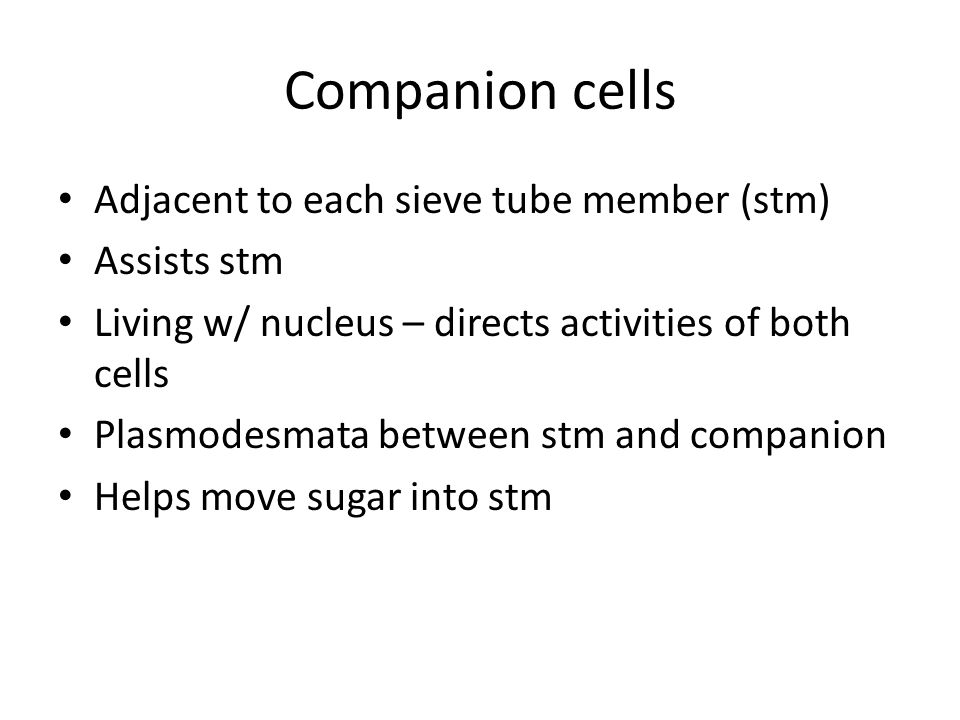 Companion cells Adjacent to each sieve tube member (stm) Assists stm