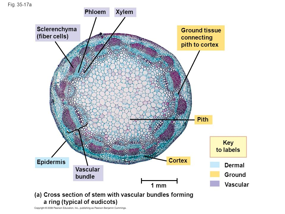 Cross section of stem with vascular bundles forming