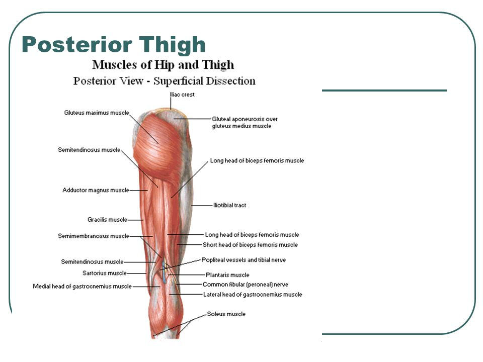 Thigh and Buttock. - ppt video online download | 960 x 720 jpeg 61kB