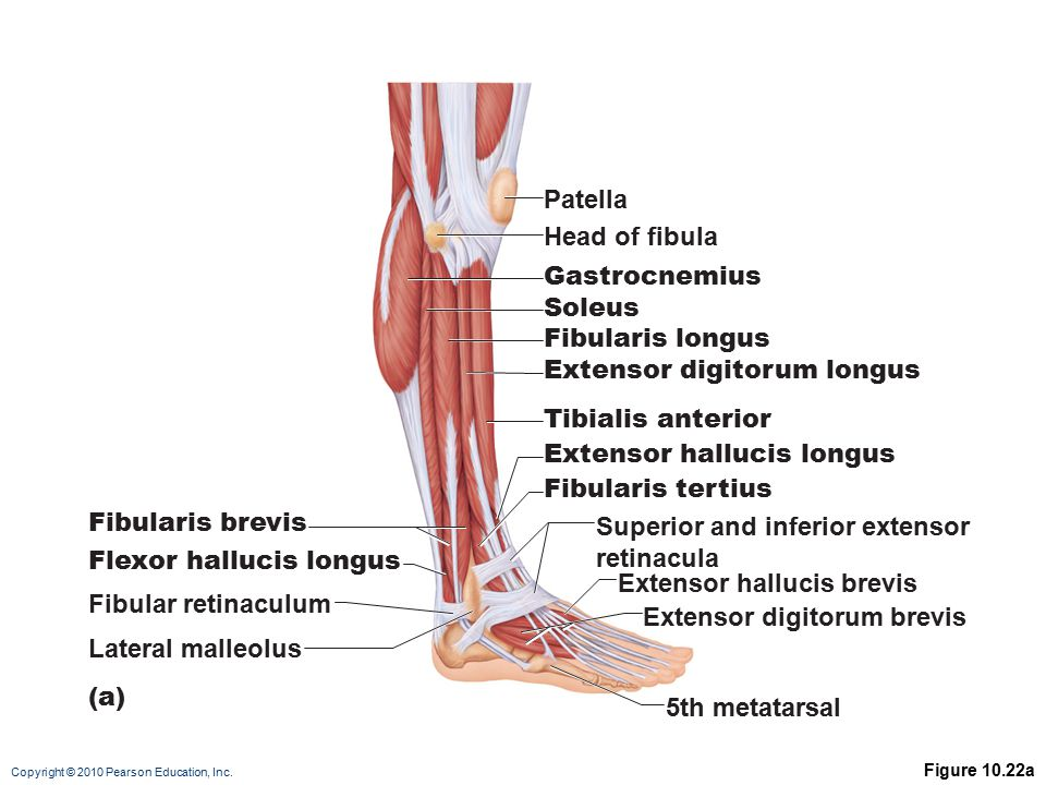 The Muscular System Part D Ppt Video Online Download