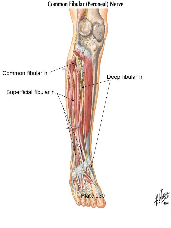 Posterior intramuscular septum - ppt download
