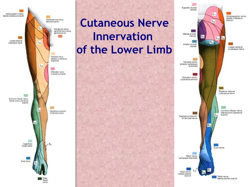 Cutaneous Nerve Innervation of the Lower Limb