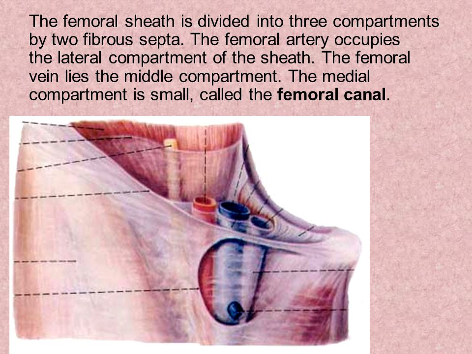 The femoral sheath is divided into three compartments by two fibrous septa.