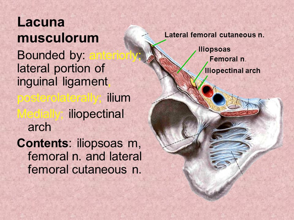 Lacuna musculorum Bounded by: anteriorly; lateral portion of inguinal ligament, posterolaterally; ilium.