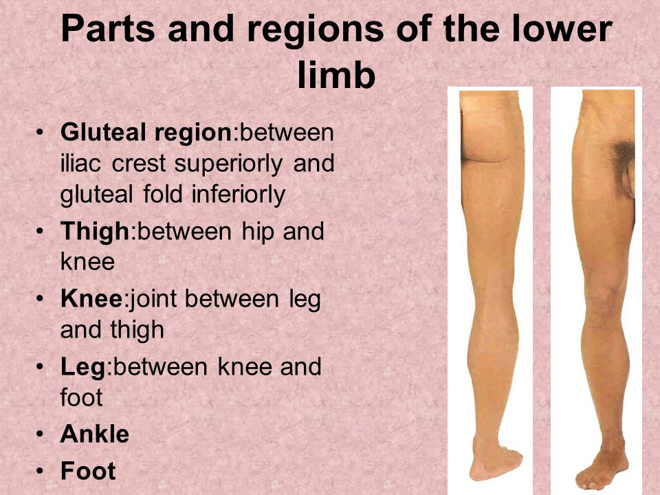 Parts and regions of the lower limb