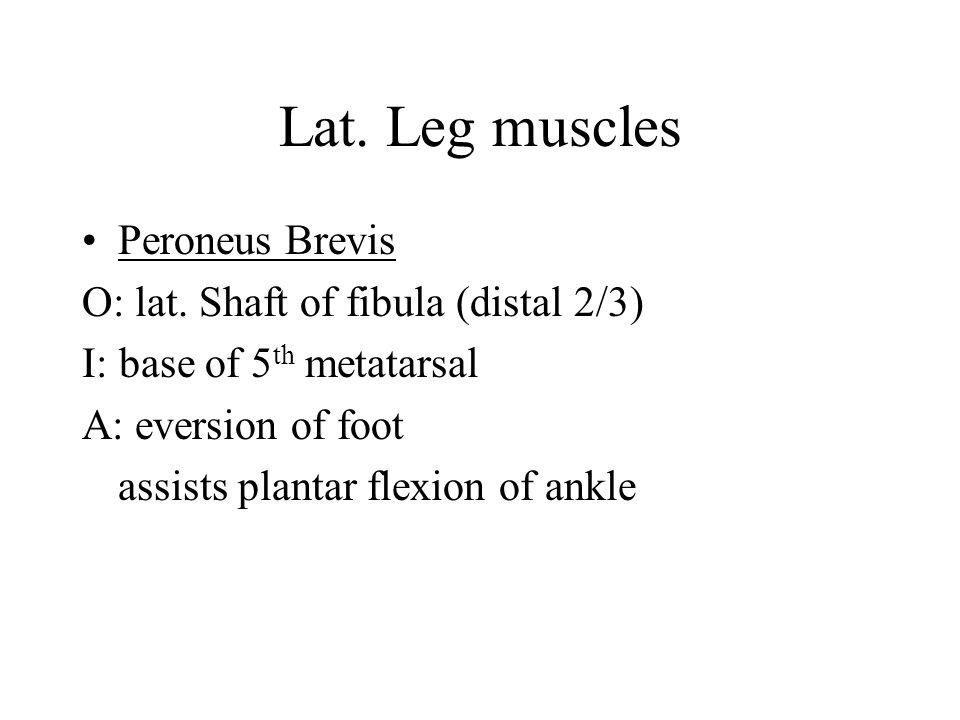 Lat. Leg muscles Peroneus Brevis O: lat. Shaft of fibula (distal 2/3)
