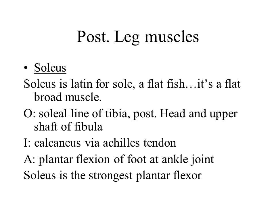 Post. Leg muscles Soleus