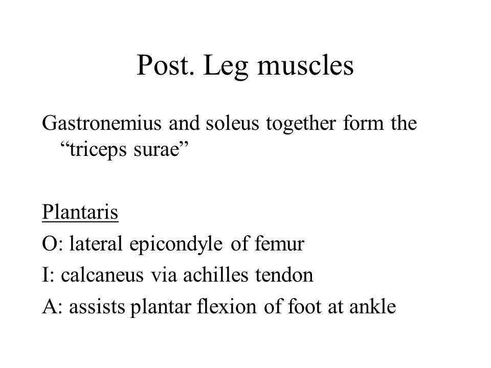 Post. Leg muscles Gastronemius and soleus together form the triceps surae Plantaris. O: lateral epicondyle of femur.