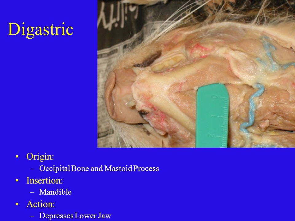 Anatomy Review Cat Muscles Ppt Video Online Download