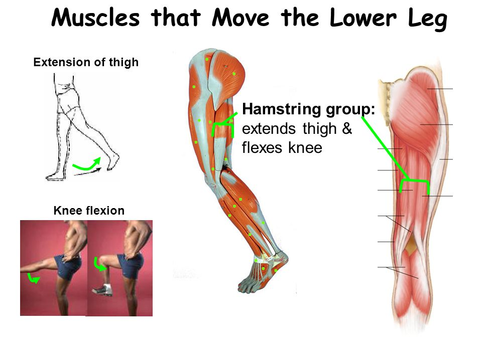 Muscles Ppt Video Online Download