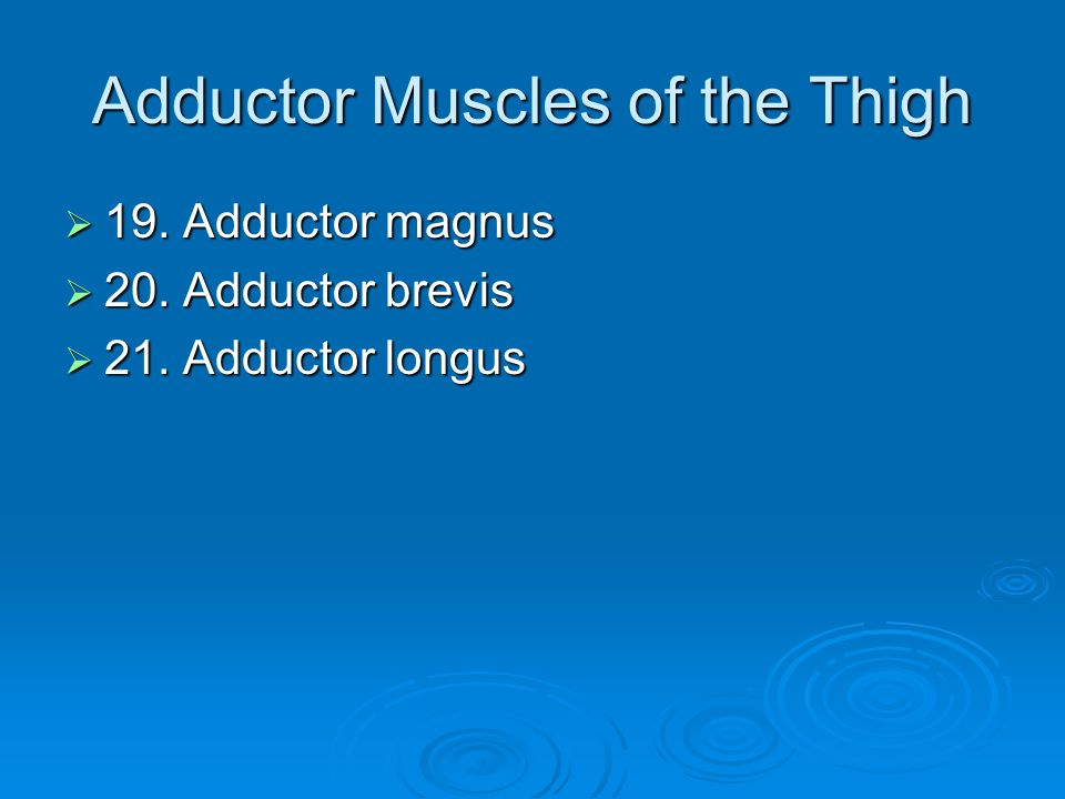 Adductor Muscles of the Thigh