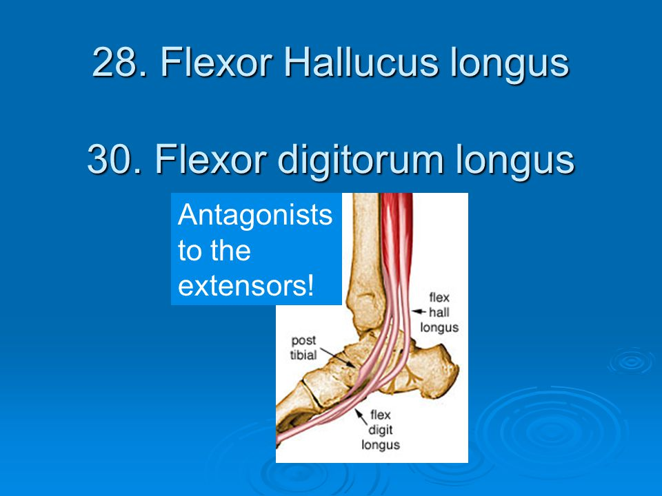 28. Flexor Hallucus longus 30. Flexor digitorum longus