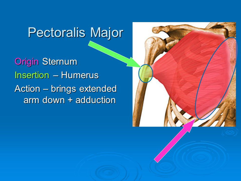 Pectoralis Major Origin Sternum Insertion – Humerus