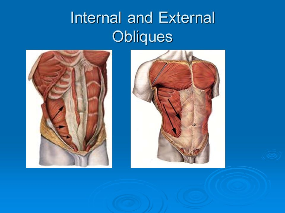 Internal and External Obliques