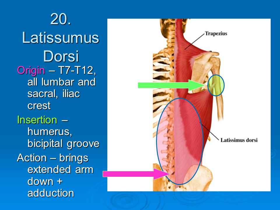 20. Latissumus Dorsi Origin – T7-T12, all lumbar and sacral, iliac crest. Insertion – humerus, bicipital groove.