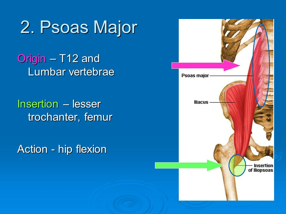 2. Psoas Major Origin – T12 and Lumbar vertebrae
