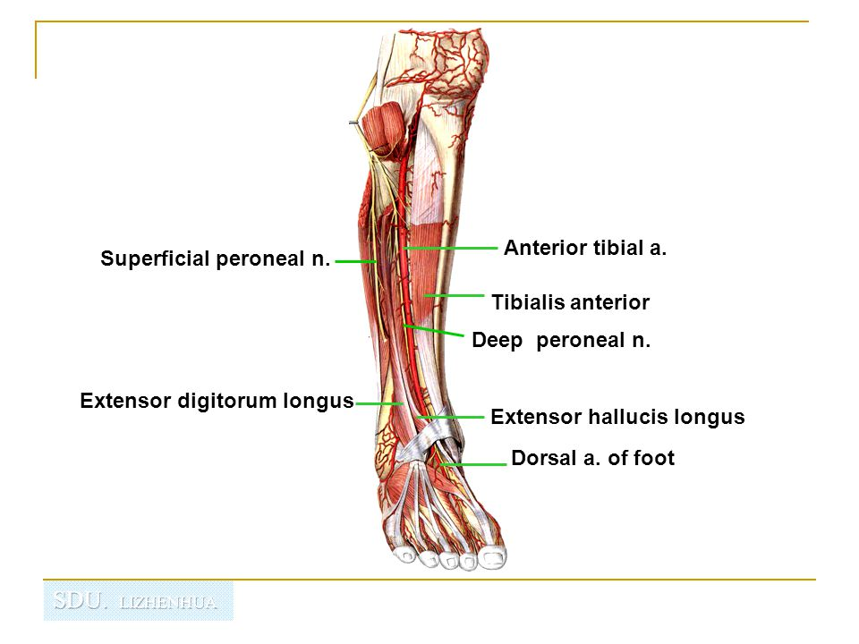 Regional anatomy of the lower limb - ppt video online download
