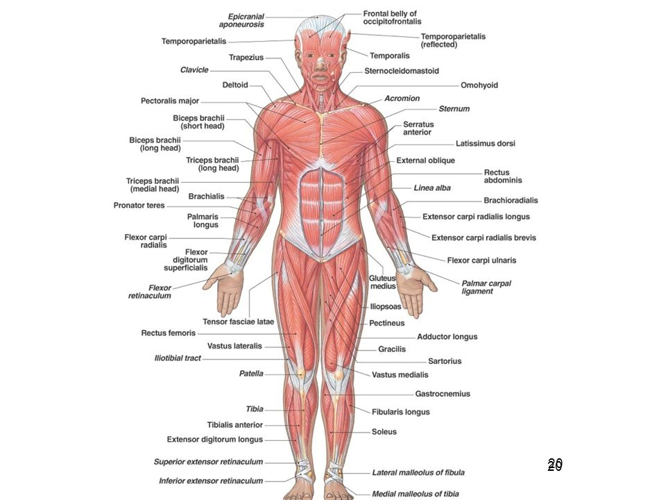Muscles Of The Body Ppt Video Online Download