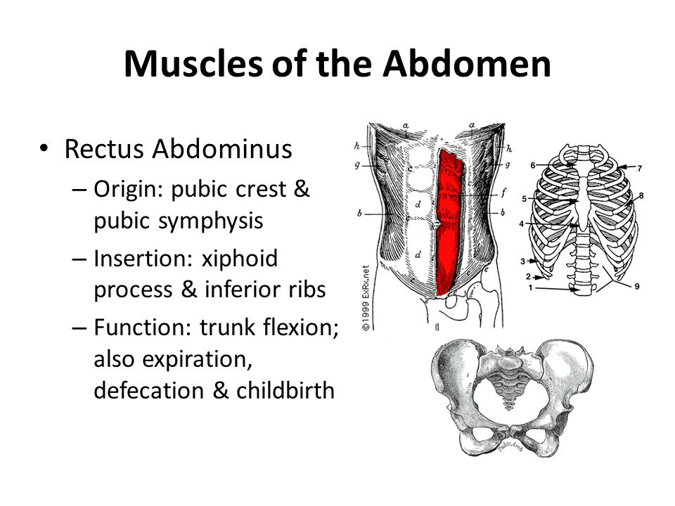 Exercise Science The Muscular System Ppt Video Online Download