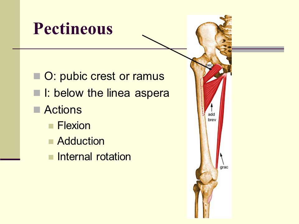 Pectineous O: pubic crest or ramus I: below the linea aspera Actions