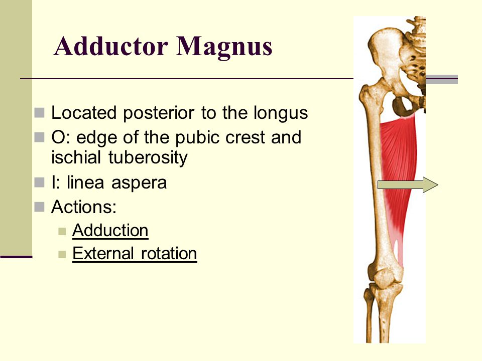 Adductor Magnus Located posterior to the longus