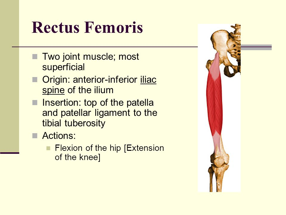 Rectus Femoris Two joint muscle; most superficial